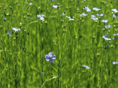 Аграрии региона получат дополнительную господдержку за производство льна и сои