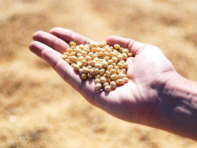 Новосибирские аграрии распробовали сою