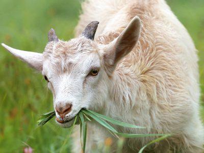 Поголовье овец и коз в Новосибирской области сокращается