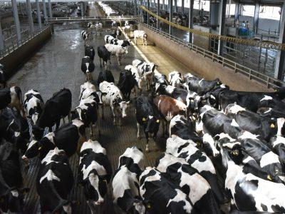 В Маслянинском районе запущен новый животноводческий комплекс