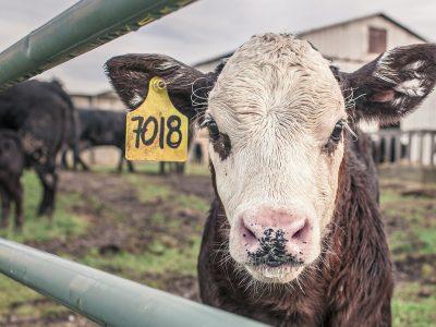 Село уговаривают заниматься мясным животноводством