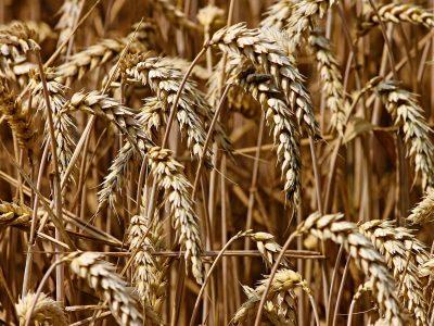 Сельхозпроизводители Сибири стали чаще пользоваться агрострахованием