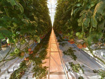 В регионе запущена третья очередь тепличного комплекса «Сады Гиганта»