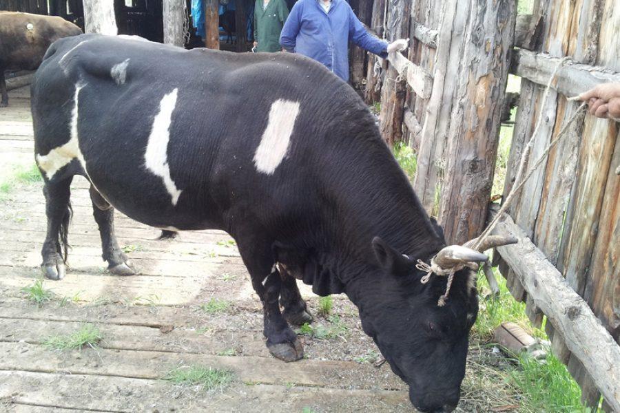 Российские коровы устойчивы к холодному климату