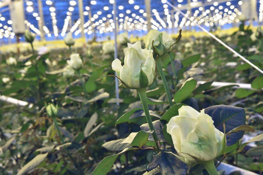 Семь миллионов роз в год будут выращивать в новосибирских теплицах