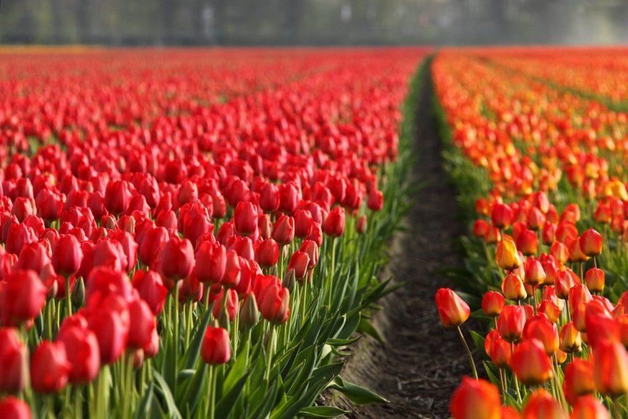 В ТОСЭР «Горный» будут выращивать тюльпаны