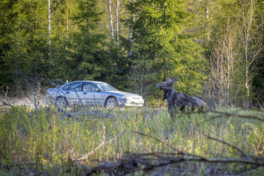 За ДТП с домашним скотом виновный заплатит штраф до 180 тыс рублей