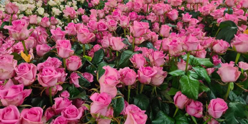 На прилавки цветочных магазинов поступит около полумиллиона новосибирских роз