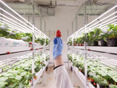 iFarm готовится к запуску промышленной земляничной фермы